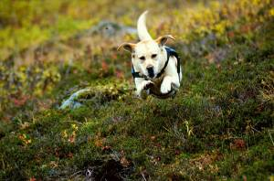 Do Service Dogs Get to Play? – Alaska Dog Works