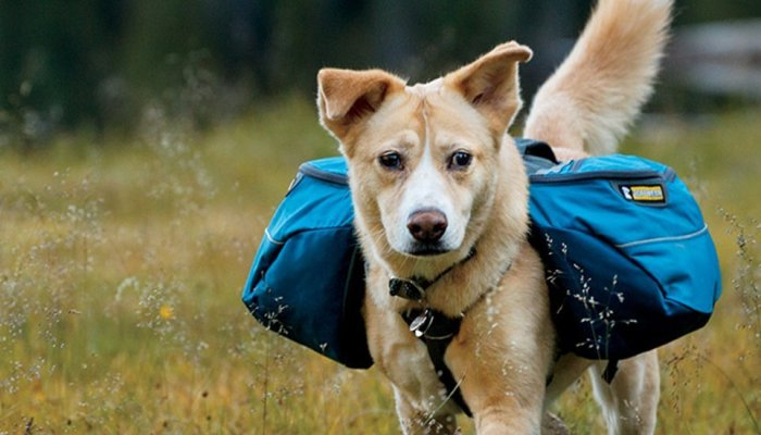 HOW TO TRAIN YOUR DOG TO WEAR A PACK