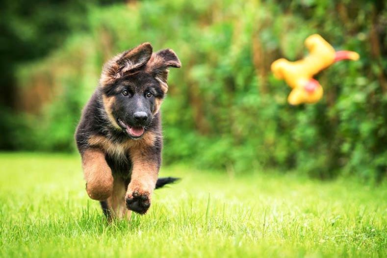 dog playing fetch alaska dog works