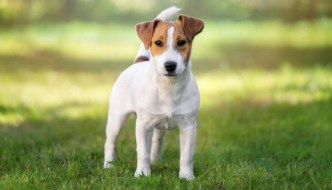 How to Train a Russell Terrier
