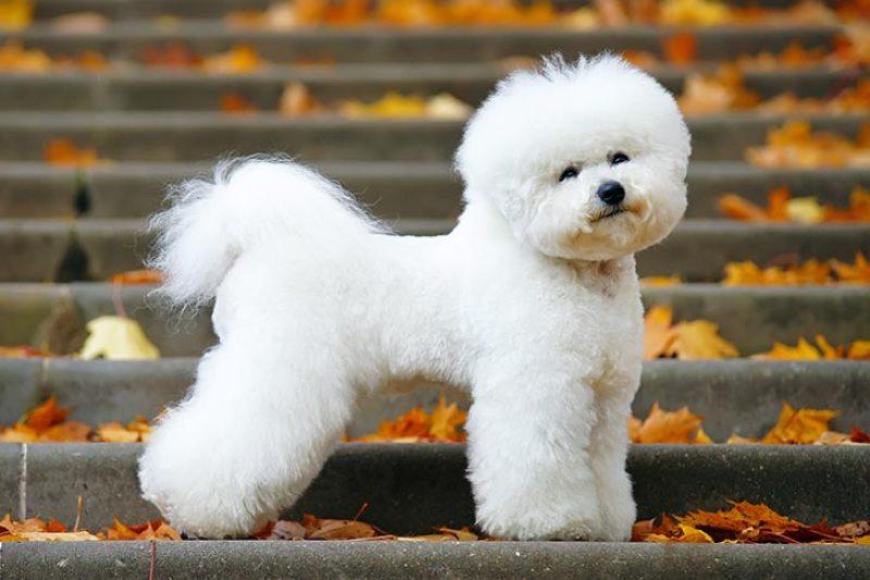 Bichon-Frise-alaska dog works
