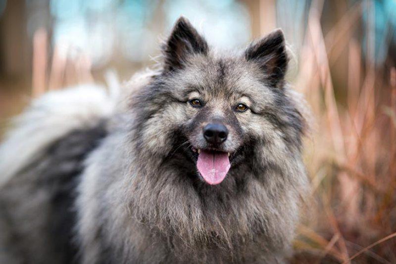Keeshond-alaskan dog works