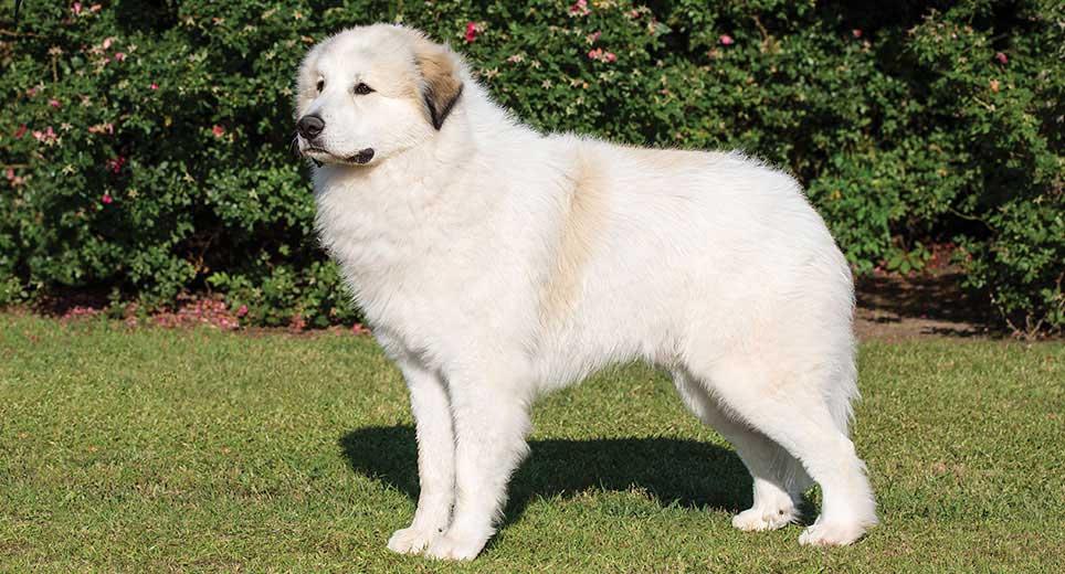 great-pyrenees-alaska dog works