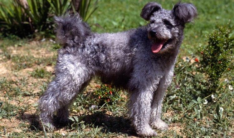 Pumi Alaska dog works