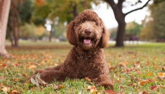 Does a Completely Hypoallergenic Dog Exist?