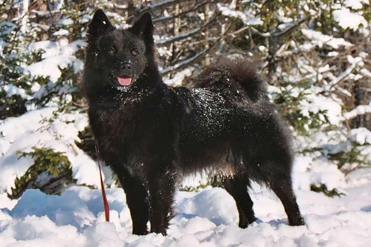 Swedish-Lapphund-alaska dog works