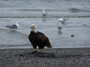 Bald Eagle in Ninichik