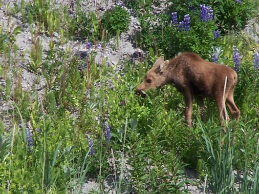 Baby Moose Zoomed Way In