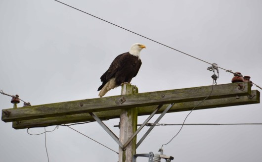 Bald Eagle on Power Pole