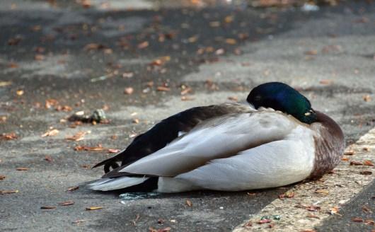 Mallard Resting
