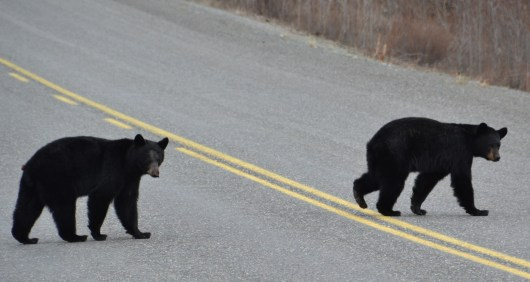 Alaska Highway - Bears Crossing the Road