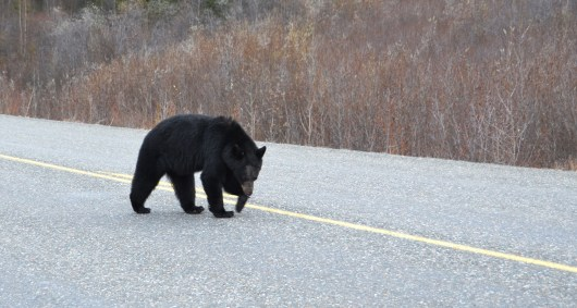 Alaska Highway - Injured Bear Walking Towards My Car