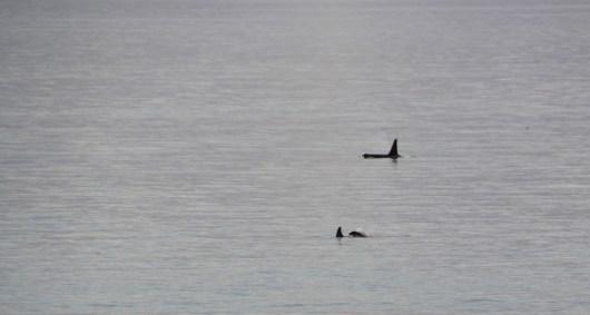 AMHS - Columbia - Orcas in Wrangell