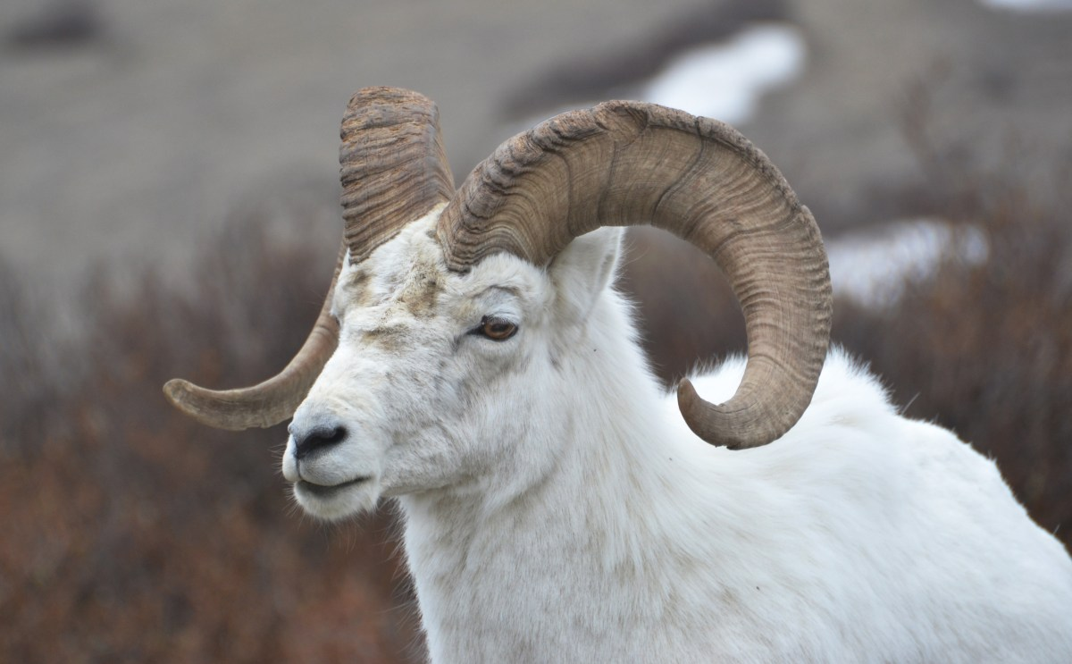 Dall Sheep in Denali National Park and Preserve