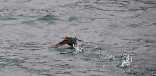Tufted Puffin Taking Off