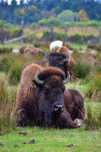 Bison Lined Up