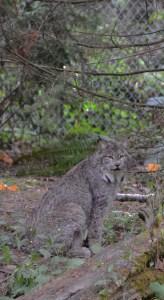 Lynx Hidden
