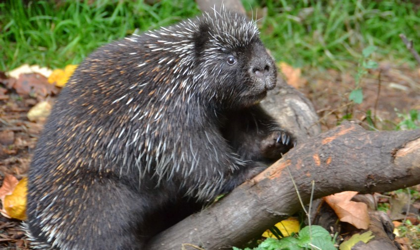 Male Porcupine
