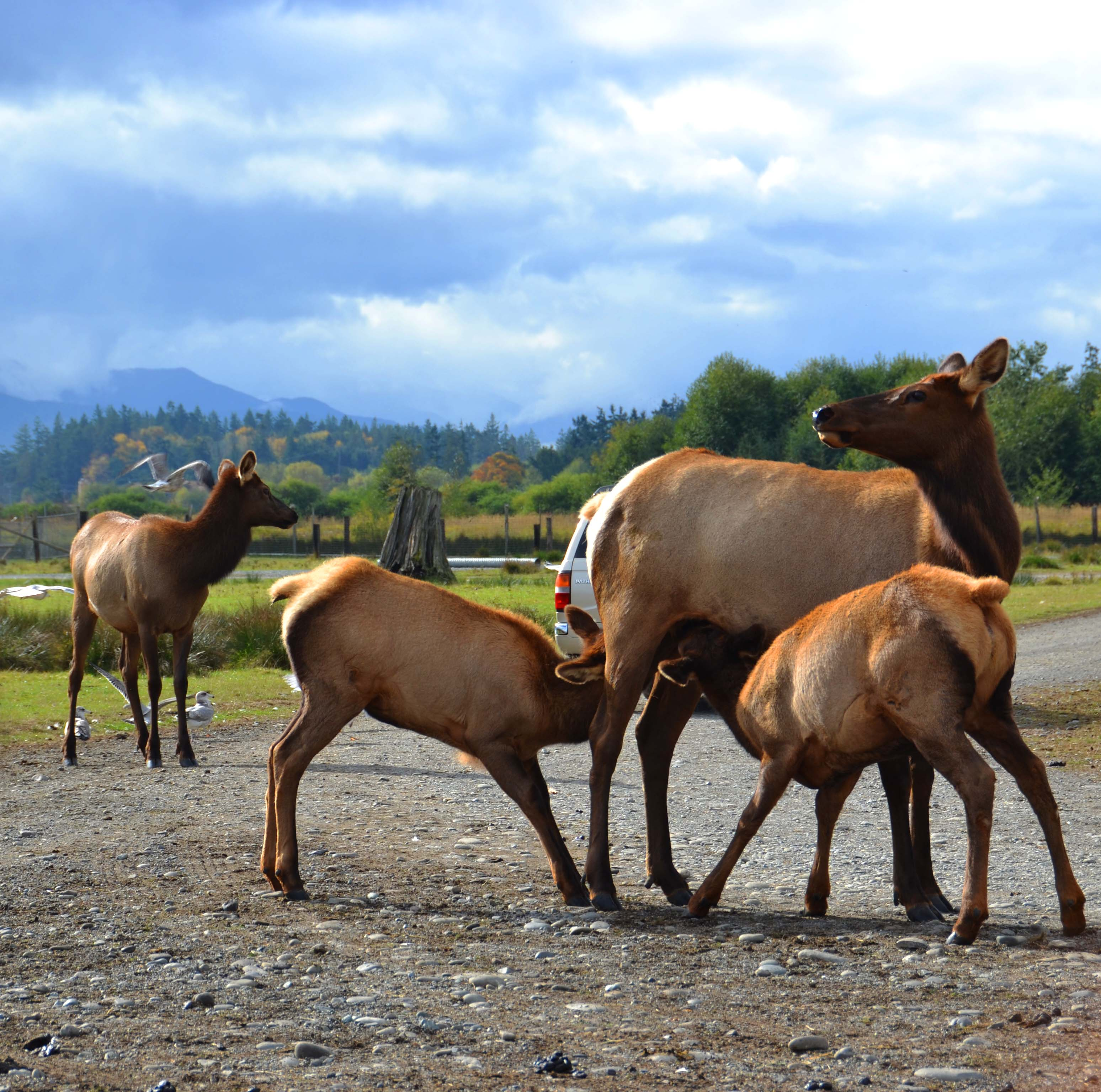 Two Nursing Elk Calfs