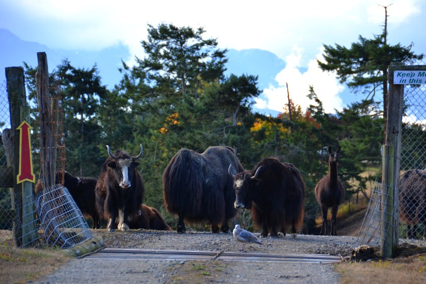 Yaks and Llamas Waiting For Us