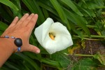 Monster Calla Lily