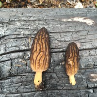 Harvesting Alaska: Morels