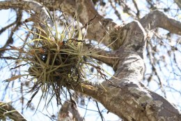 Epiphytes or Aerophytes perch on the branches of many trees