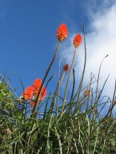 Flowers of a type of aloe - I think they are called Red Hot Pokers in English