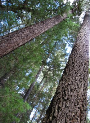 Towering pines, some 100 feet tall and straight as an arrow, fill the Sierra mountainsides.
