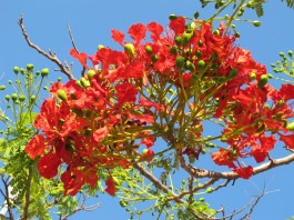 Flower of Flamboyán
