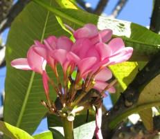 Frangipani, Flor de Mayo, plumeria rubra
