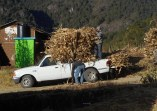 Loading cornstalks for the animals