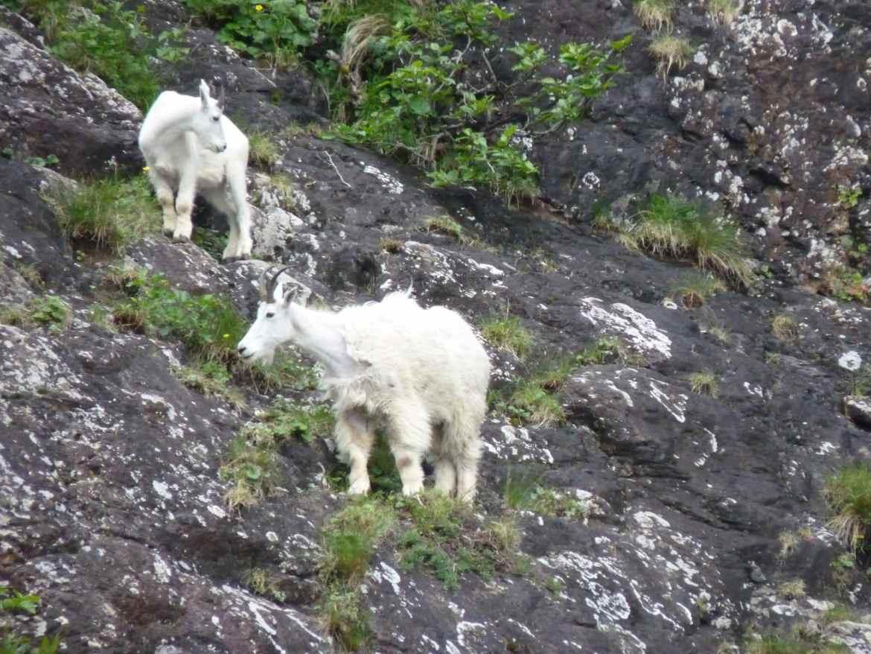 Alaska Wildlife mountain goats