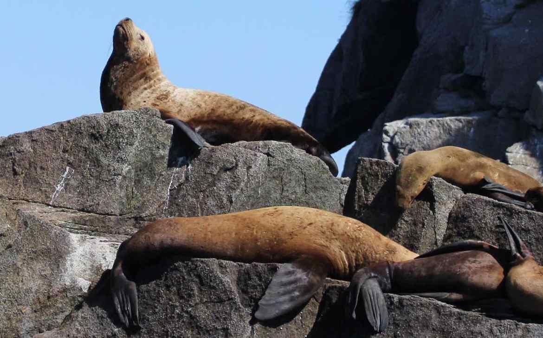 sea lions, Kenai Fjords NP Alaska