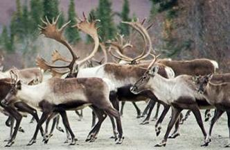 Bill would add caribou to hunts requiring guides for non-residents