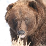 Bird Creek bears aggressive, potential danger