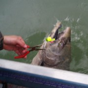 Is bait right or needed for early Kenai kings?