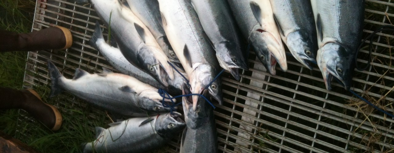 Wait for Kenai sockeye continues, ADF&G curtails commercial fishing