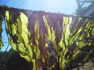 green sugar kelp drying on a clothesline