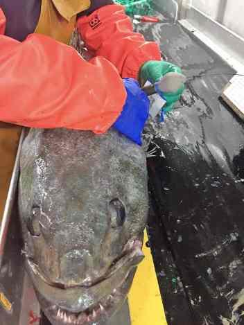 farrugia-tag-patagonian-toothfish