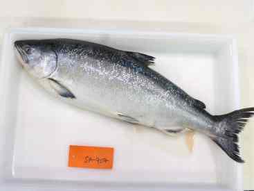 chinook-salmon-sa-907