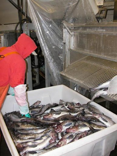 Fish processor standing over large tub of pollock