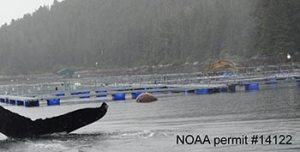 A whale fluke near net pens - NOAA permit #14122