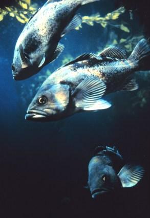 Three dark colored fish underwater