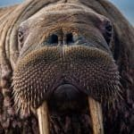 walrus close-up