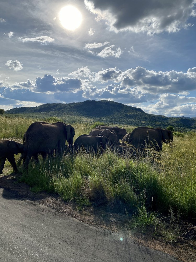 Herd of Elephants in Pilanesberg National Park