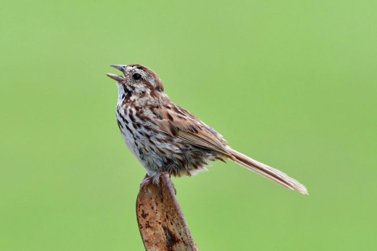 Song sparrow by Greg Harber