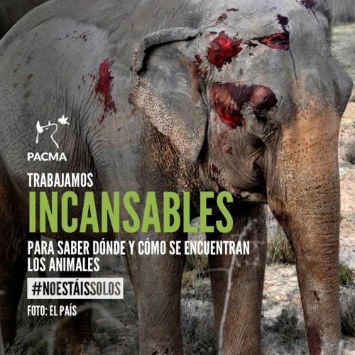 """VÍDEO   PACMA estudia acciones legales por """"posibles irregularidades"""" en el transporte de los elefantes"""