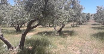 Cubiertas vegetales: hacia la recuperación de la biodiversidad en olivos