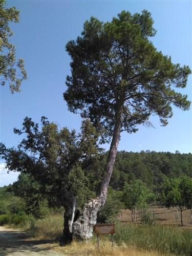 El pino del roble de Peñascosa aspira a ser el 'árbol europeo de 2019'